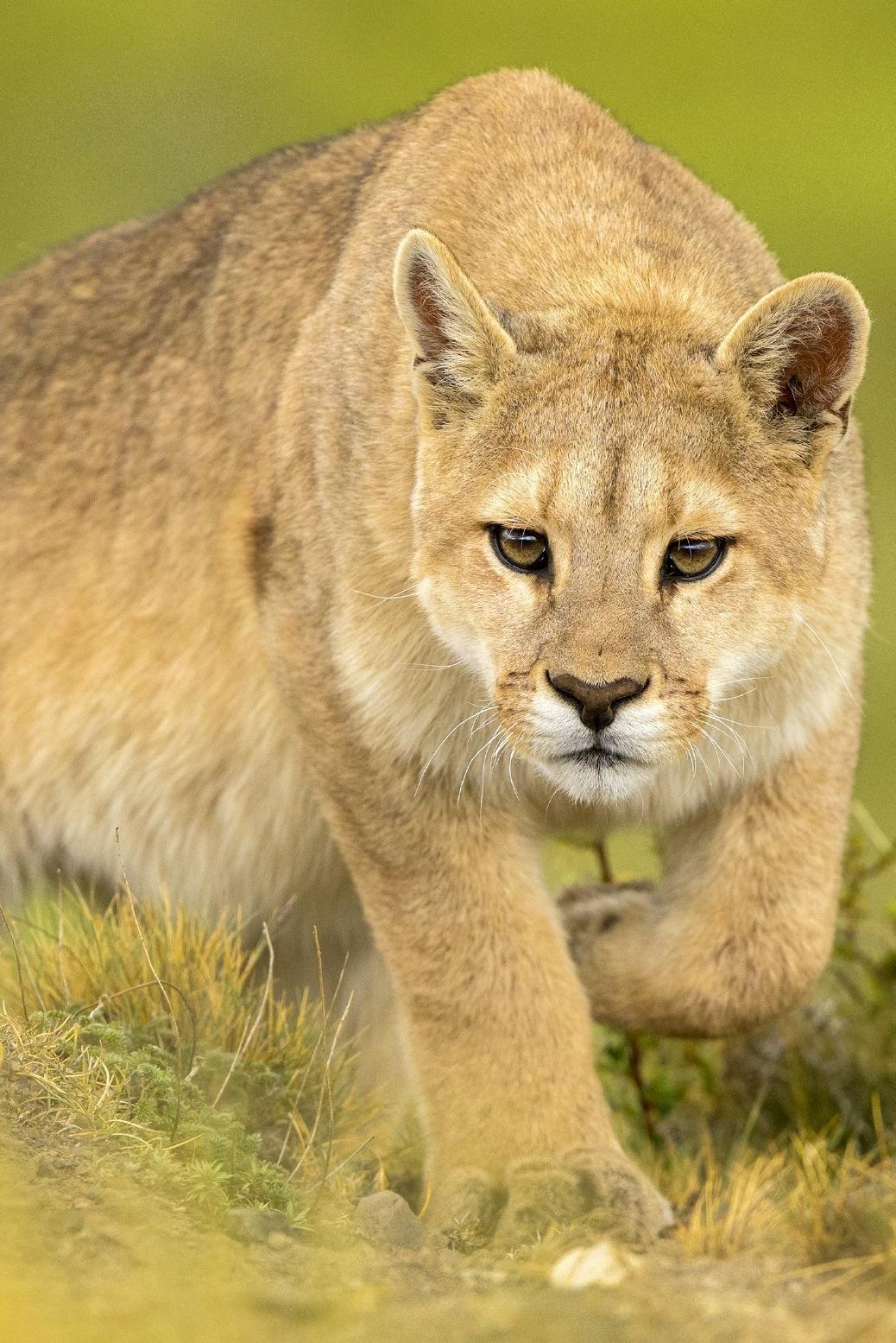 Brünette Puma Zlata macht Liebe nach romantischer Verabredung mit jungem Mann