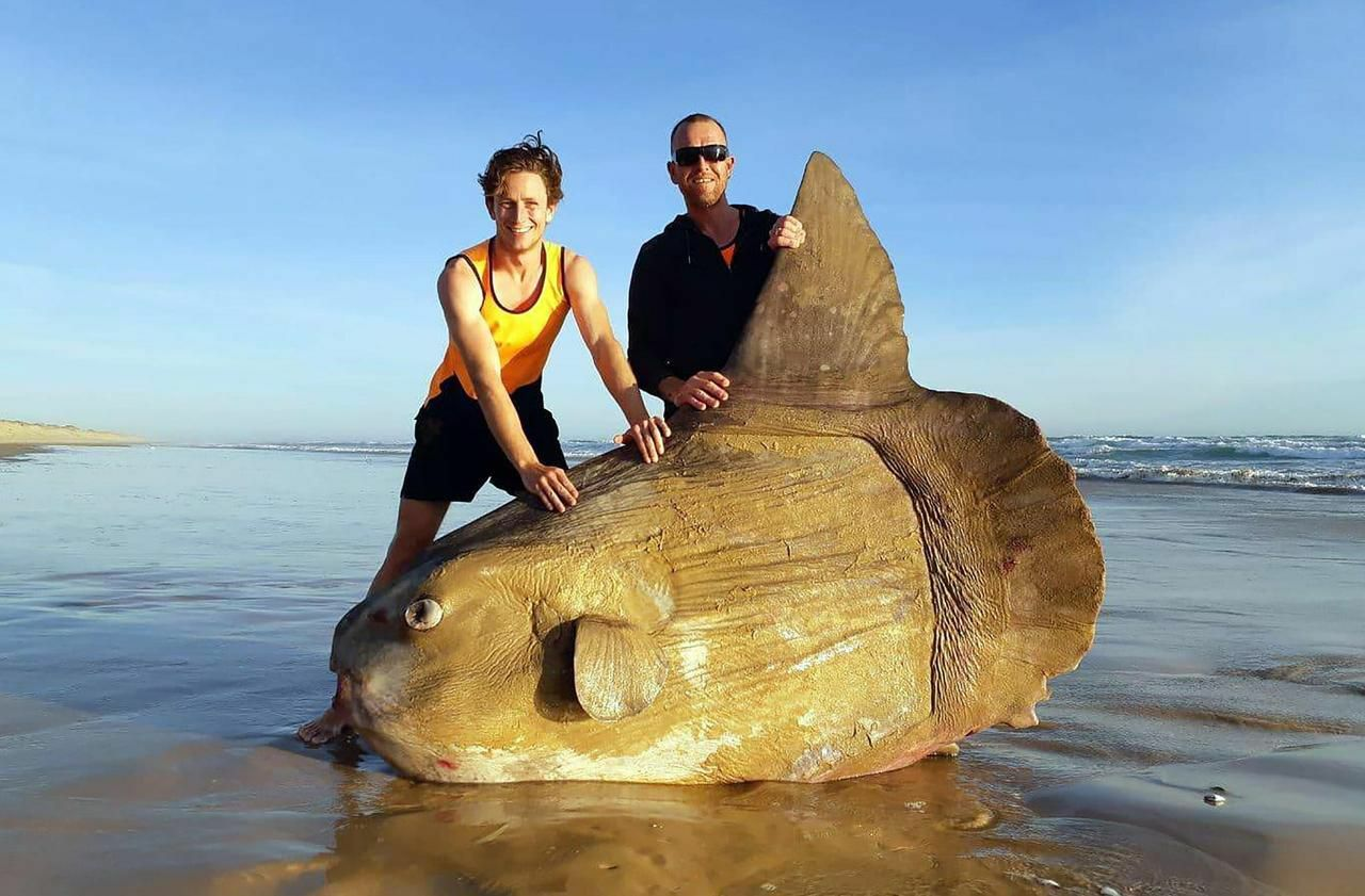 Australie : un poisson lune géant de 1,8 mètre s'est échoué