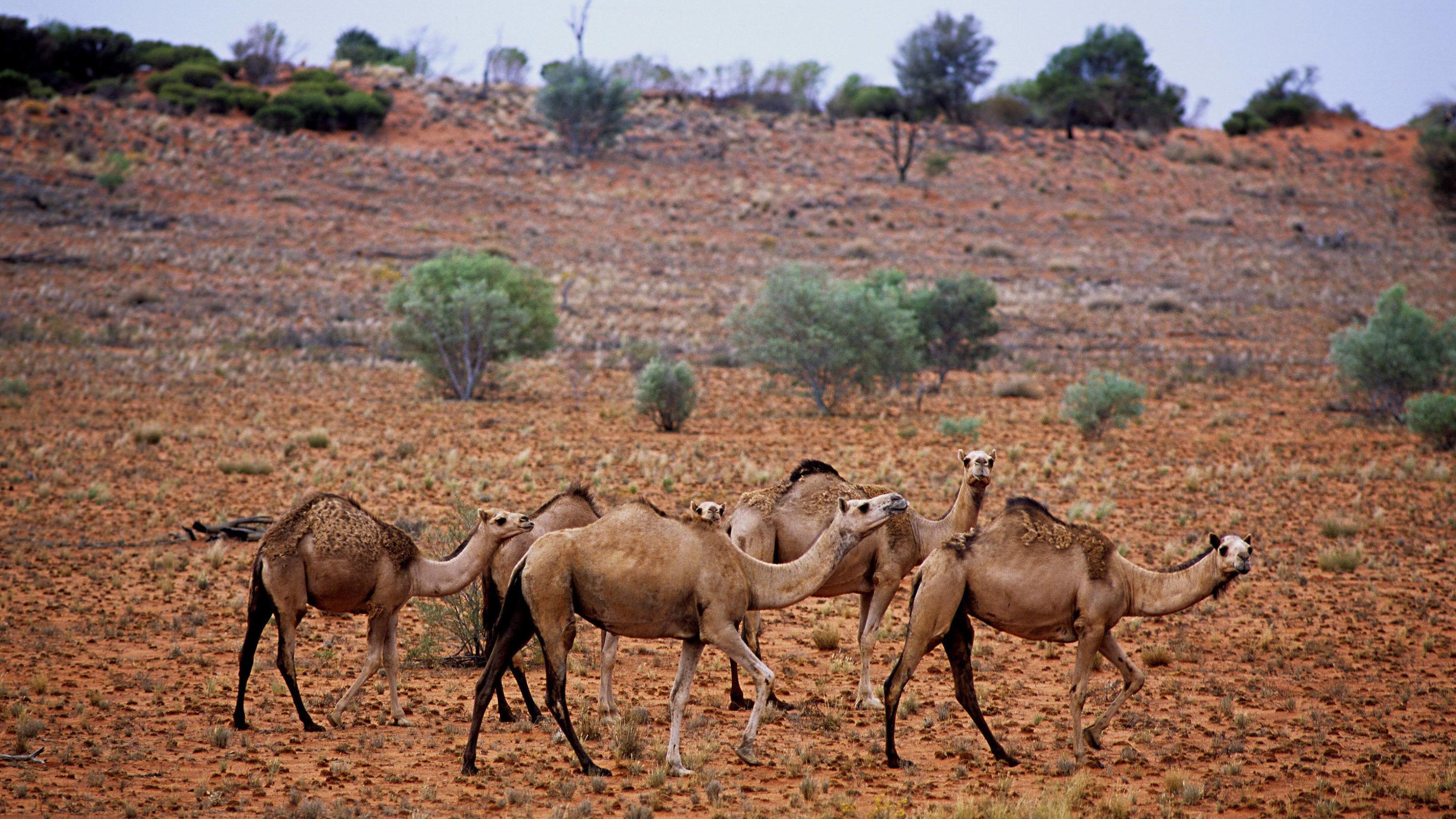 Kamele rechner