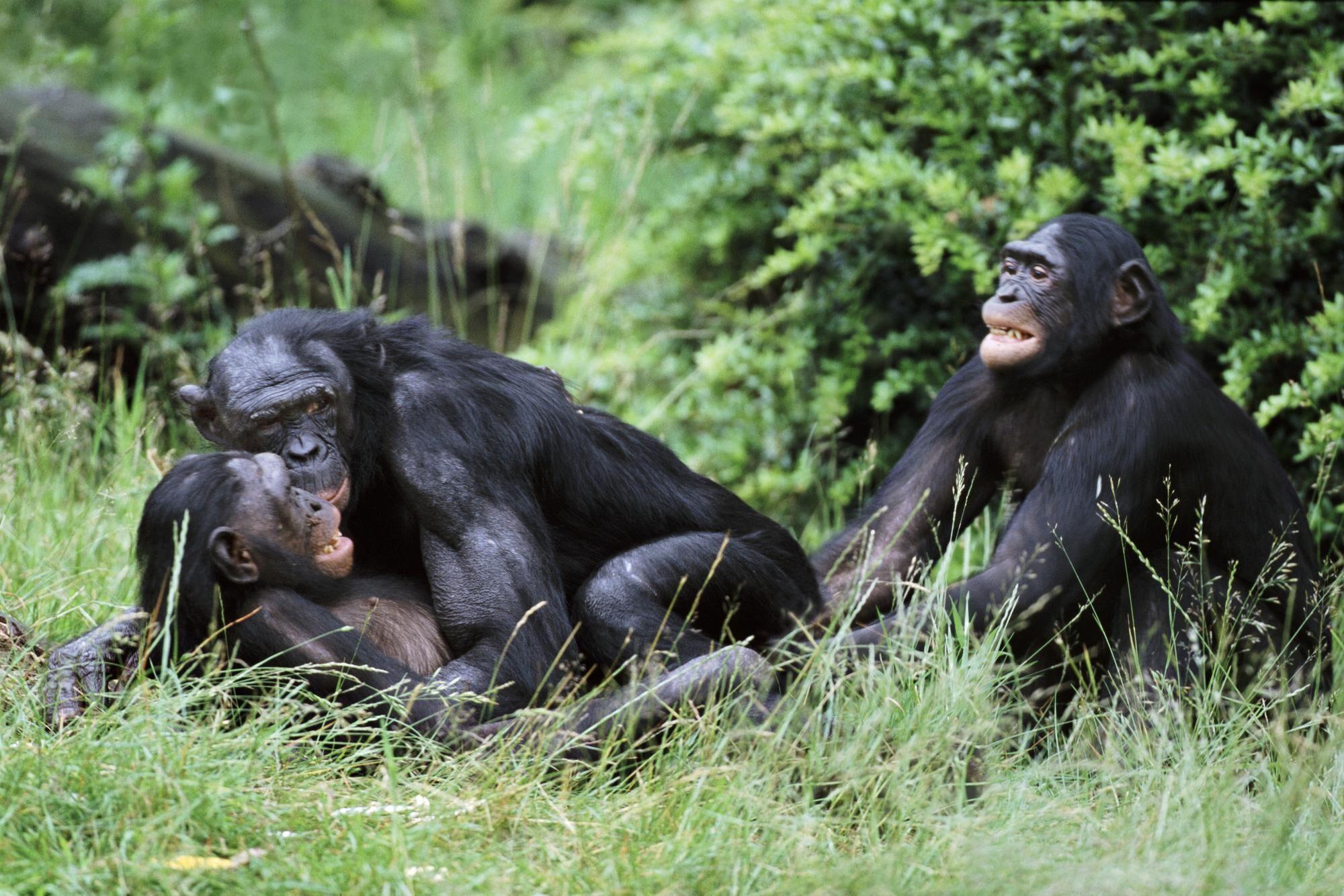 Face à face homme/singe